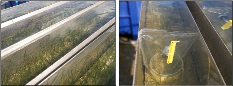 Flume tanks and incubation used in the experiment.